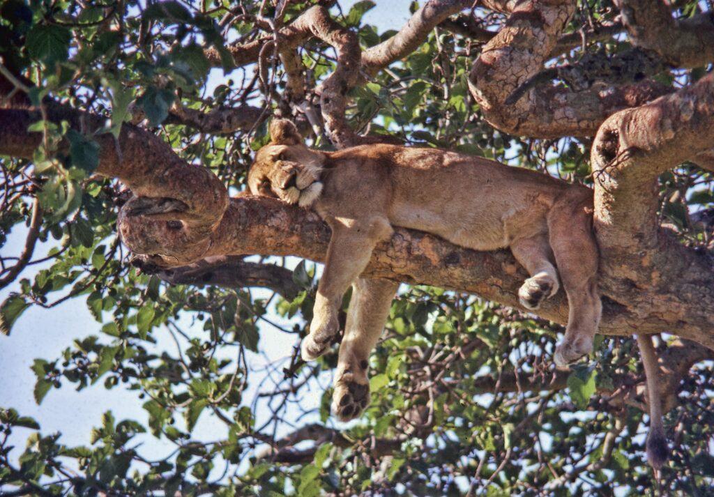 Ir a safari en Parque Nacional Queen Elizabeth es de las mejores cosas para hacer en Uganda en 2021