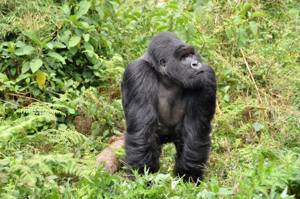 Parque Nacional de los Volcanos es de los mejores cosas que hacer en Ruanda