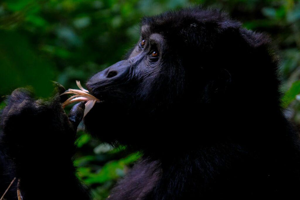 hacer un trek de gorilas es de las mejores cosas para hacer en Uganda en 2021