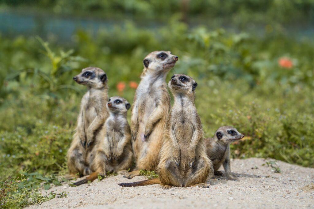 ver suricatas es de las mejores cosas para hacer en botswana.